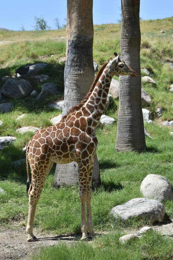 Slående bild av giraffet i profil royaltyfria foton