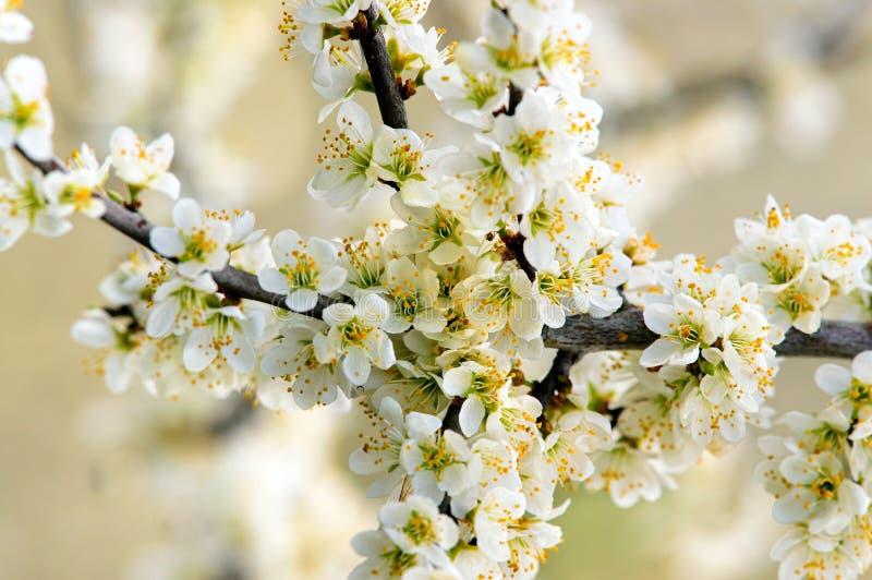 Slån i blomma arkivbild