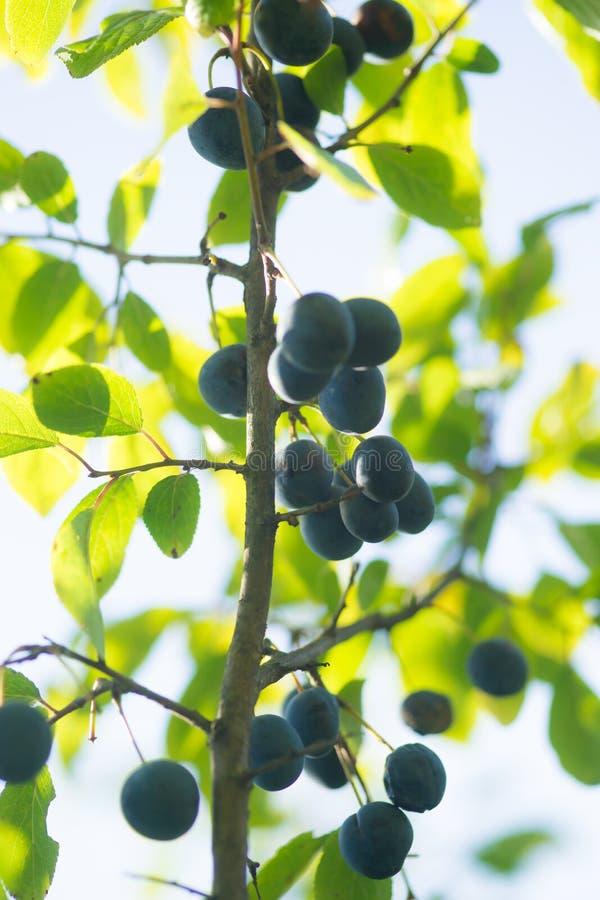 Slånslån eller Prunus Spinosa på trädfilial royaltyfria bilder