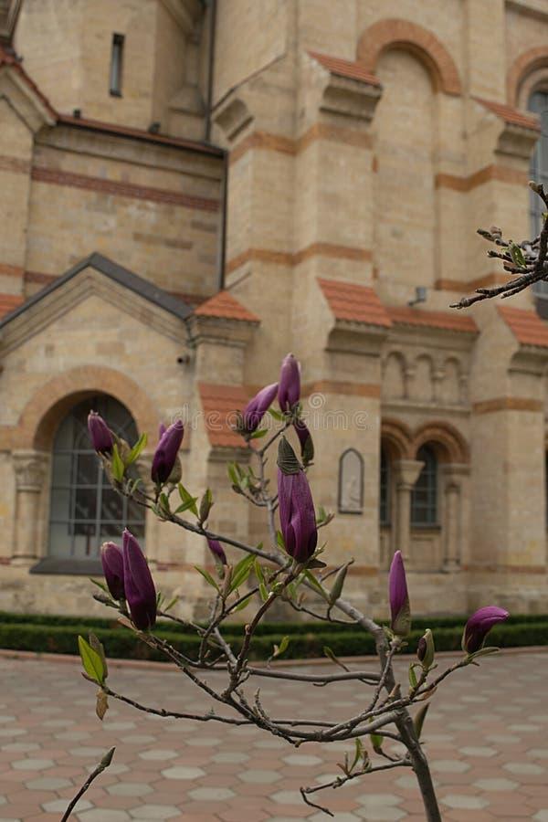 Slår ut magnolian genomdränkte fuchsian arkivbild