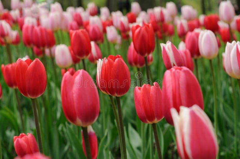 Slår ut röda och rosa tulpan En gräsmatta i en stad parkerar closen colors slappt ?vre siktsvatten f?r liljan royaltyfria bilder