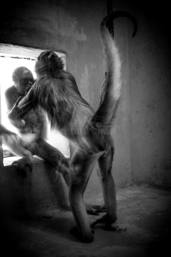 Slåss apor i en bur royaltyfri foto