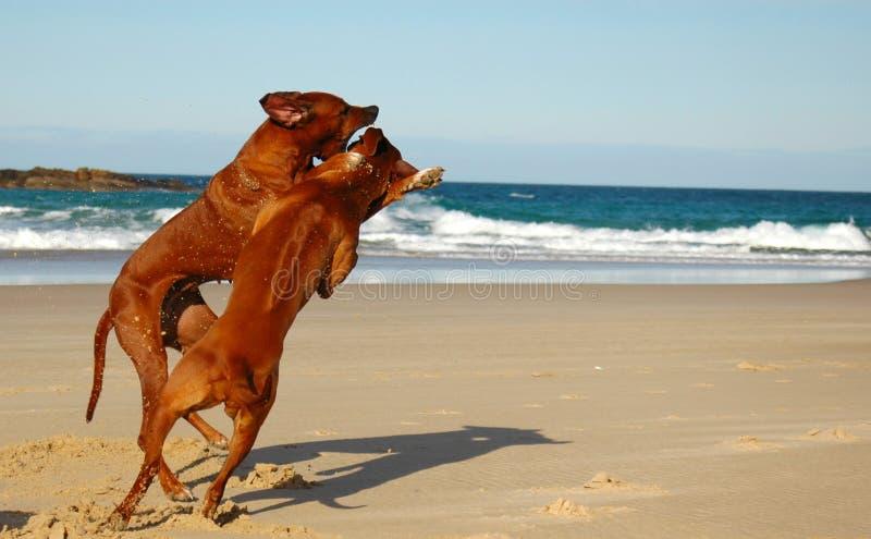 slåss för hundar royaltyfria bilder