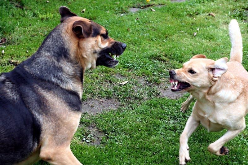 slåss för hundar arkivfoto