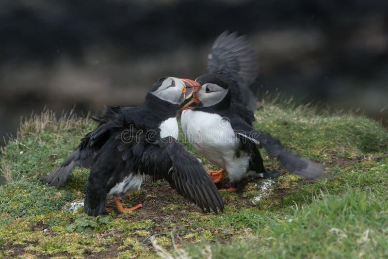 Slåss för lunnefåglar royaltyfri fotografi