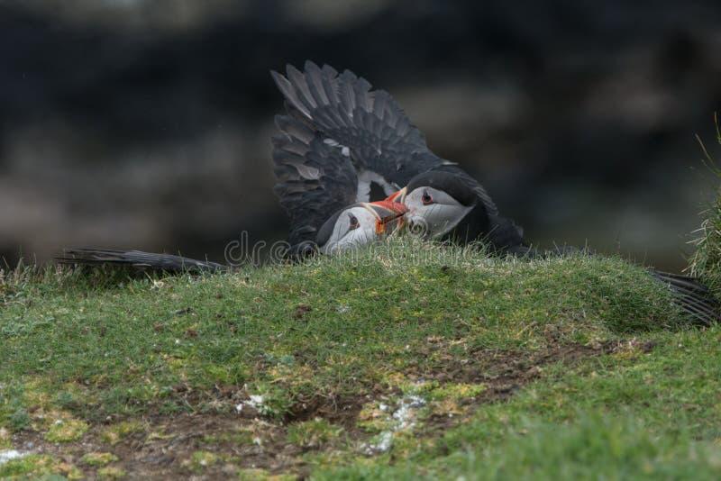 Slåss för lunnefåglar royaltyfria bilder