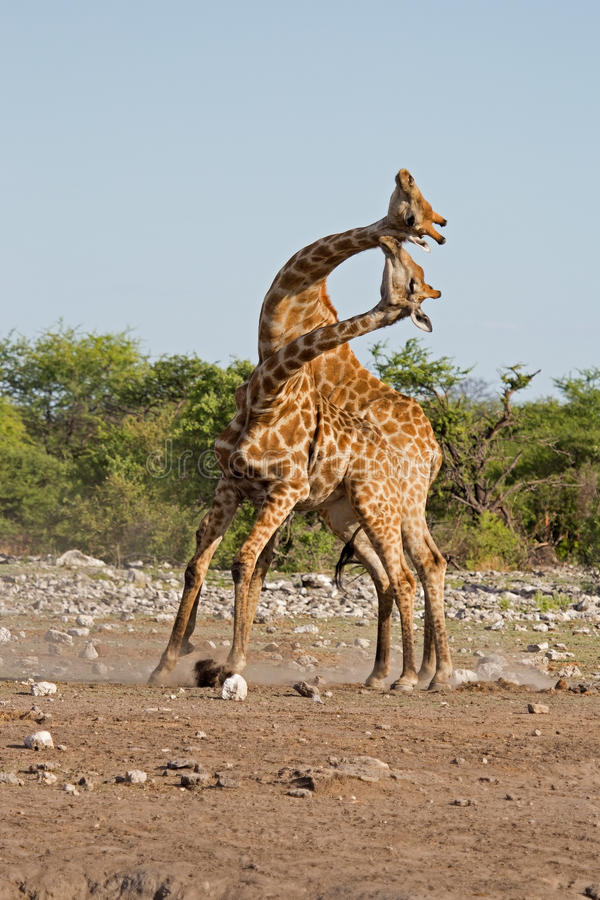 Slåss för två male giraff royaltyfri fotografi