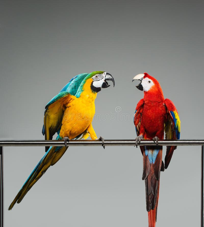 Slåss för två papegojor arkivfoton