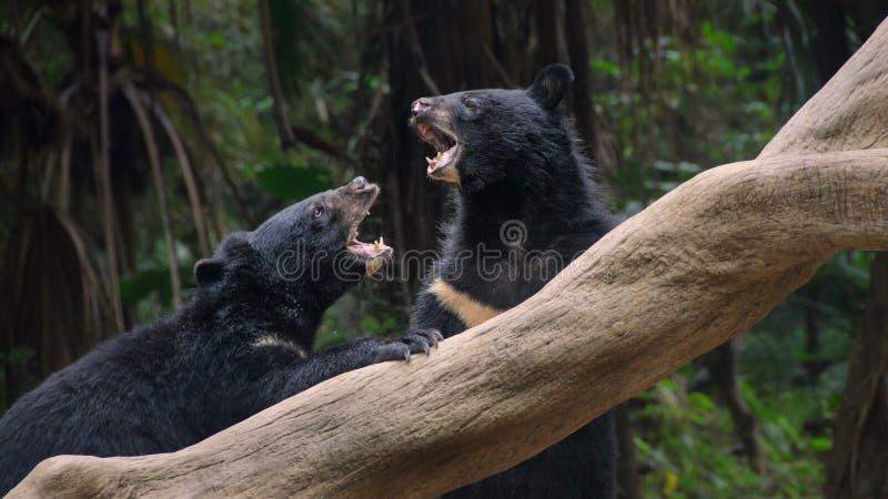 Slåss för två svarta björnar royaltyfria bilder