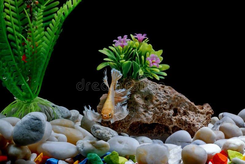 Slåss fisken, svärtar den Siamese fisken, i en fiskbehållare som dekoreras med kiselstenar och träd, bakgrund arkivfoto