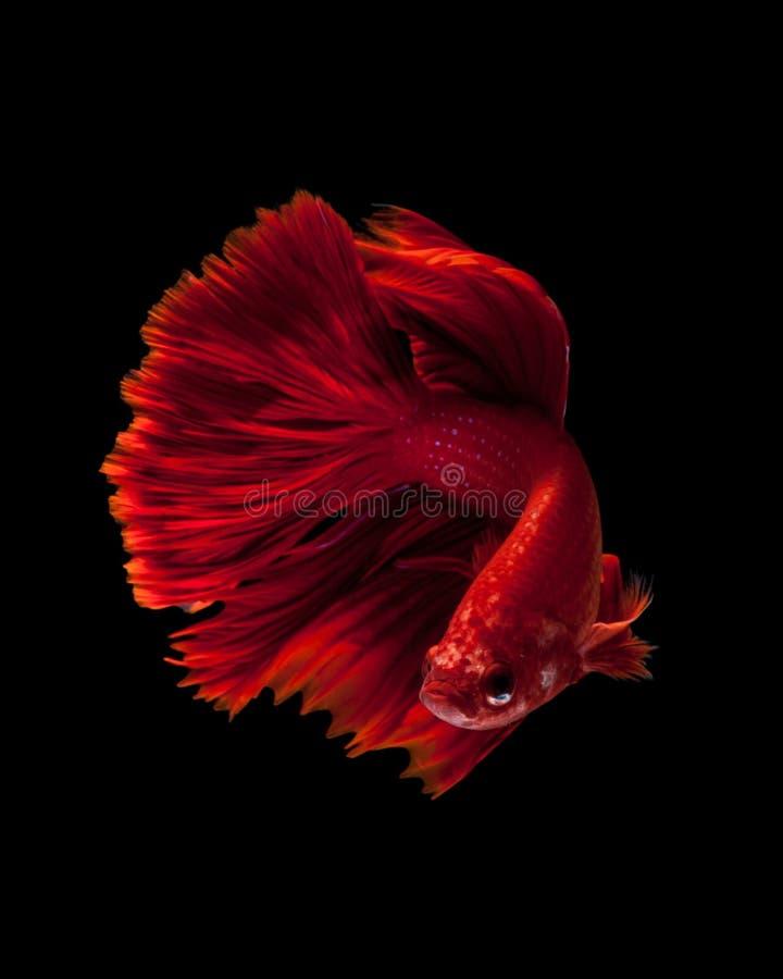 slåss rött siamese för fisk royaltyfria foton