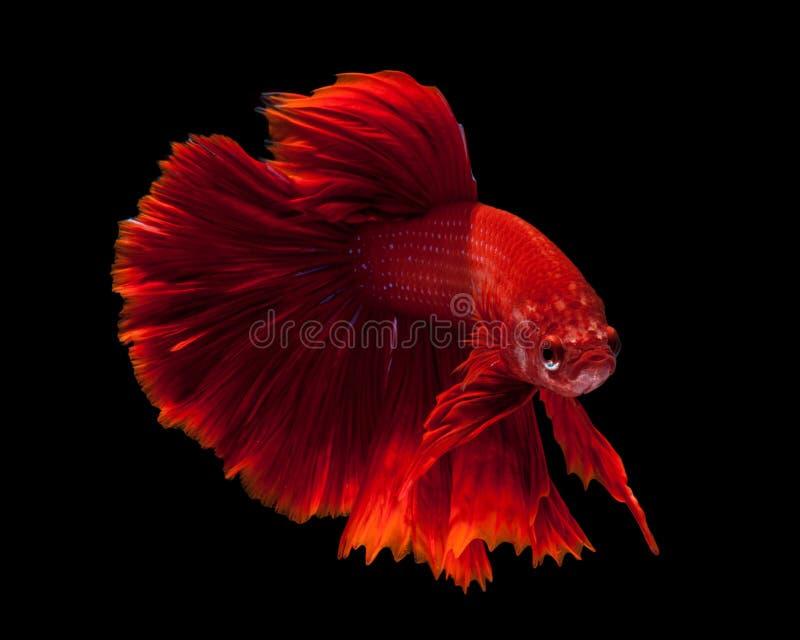 slåss rött siamese för fisk arkivbilder