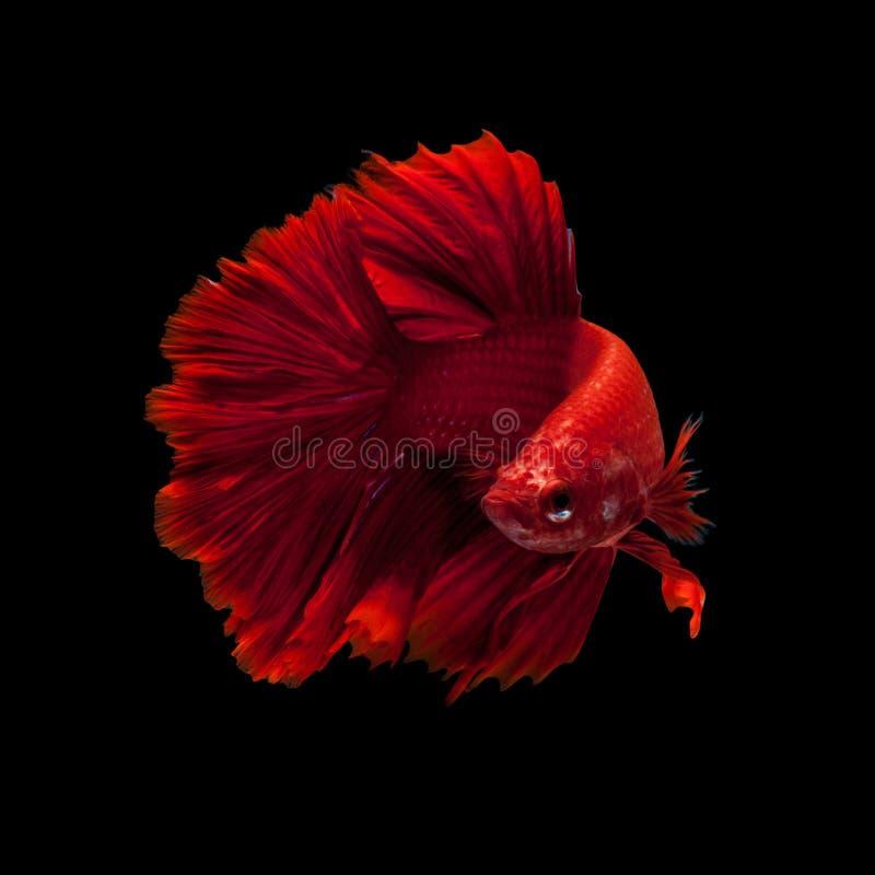 slåss rött siamese för fisk royaltyfri fotografi