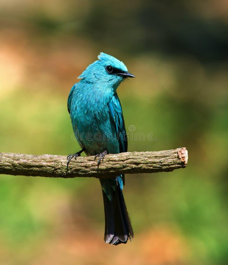 Slösa fågeln royaltyfria foton