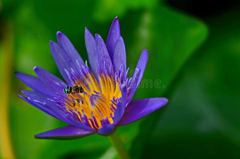 Slösa lotusblomma arkivbilder