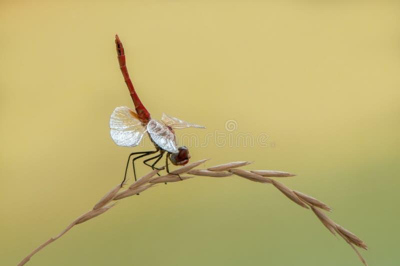 sl?ndan p? ett gr?sstr? torkar dess vingar fr?n dagg under de f?rsta str?larna av solen f?r flyg fotografering för bildbyråer