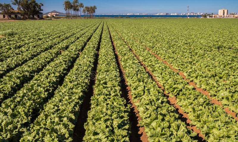 Sla die - Intensieve Moderne Landbouw groeien stock afbeeldingen