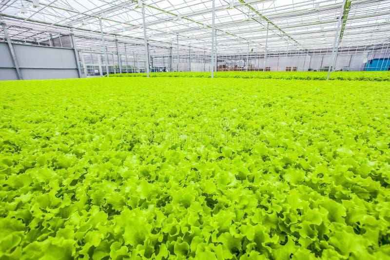 Sla groen gebied - natuurvoeding royalty-vrije stock foto