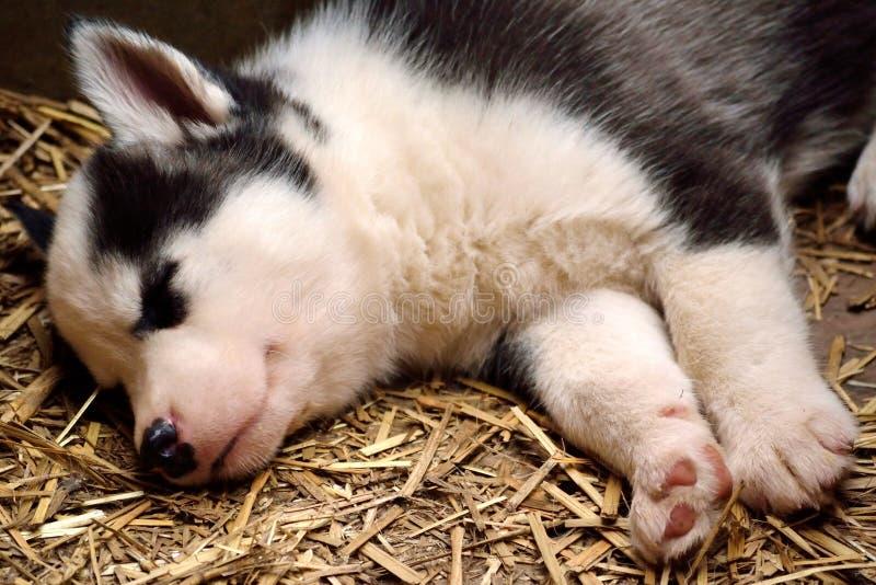 Slaap Husky Baby royalty-vrije stock afbeeldingen