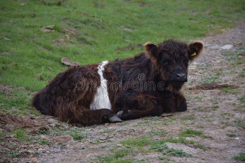 Slaap Shaggy Calf in North Yorkshire-Engeland stock foto