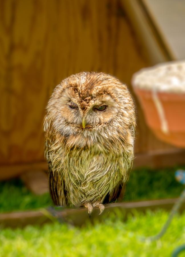 Slaap Tawny Owl stock foto's