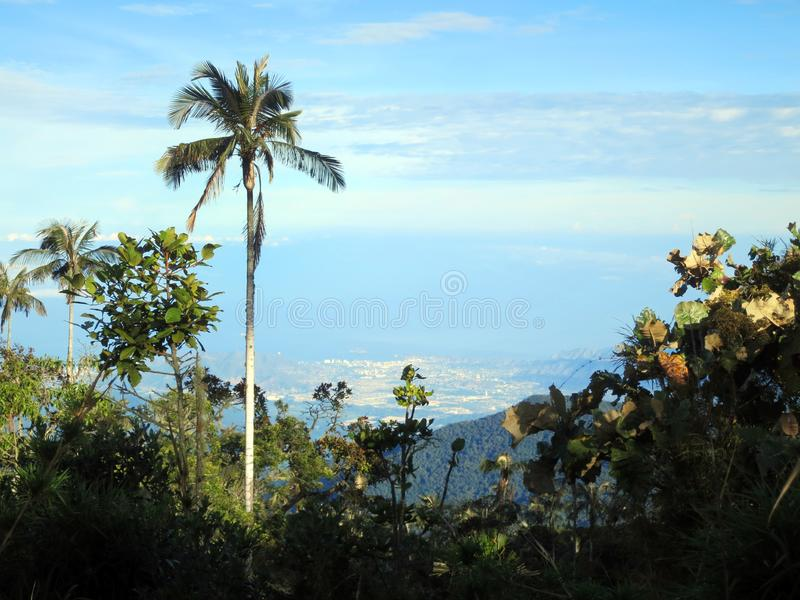 Slaapboom (palma)/palma de cera do sono; Santa Marta Parakeet, fundo foto de stock royalty free
