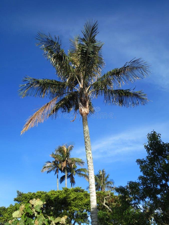 Slaapboom (palma)/palma de cera do sono; Santa Marta Parakeet, fundo foto de stock