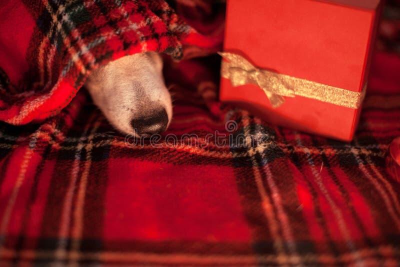 Slaaphond onder plaid royalty-vrije stock foto
