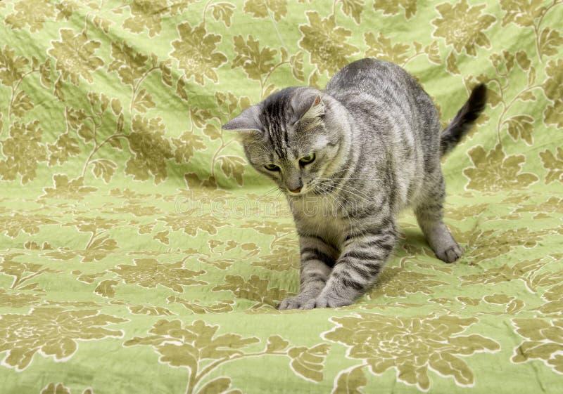 Slaapkat op natuurlijke huisachtergrond, de luie dichte omhooggaande, kleine slaperige luie kat van het kattengezicht, huisdier,  stock fotografie