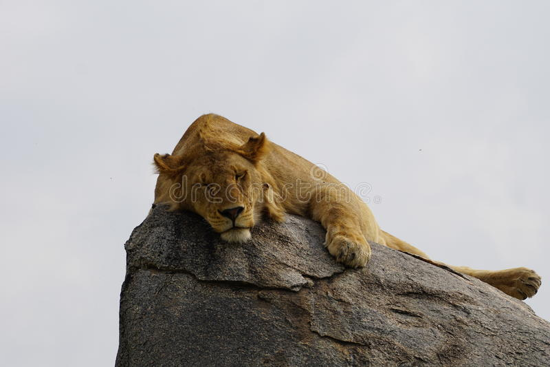Slaapleeuw de koning, Tanzania royalty-vrije stock foto