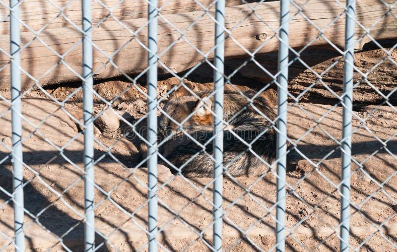 Slaapwolf in de kooi bij Dierentuin royalty-vrije stock foto