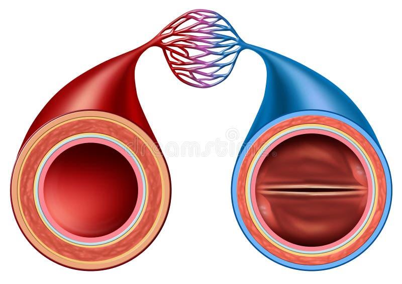 Slagader en ader vector illustratie