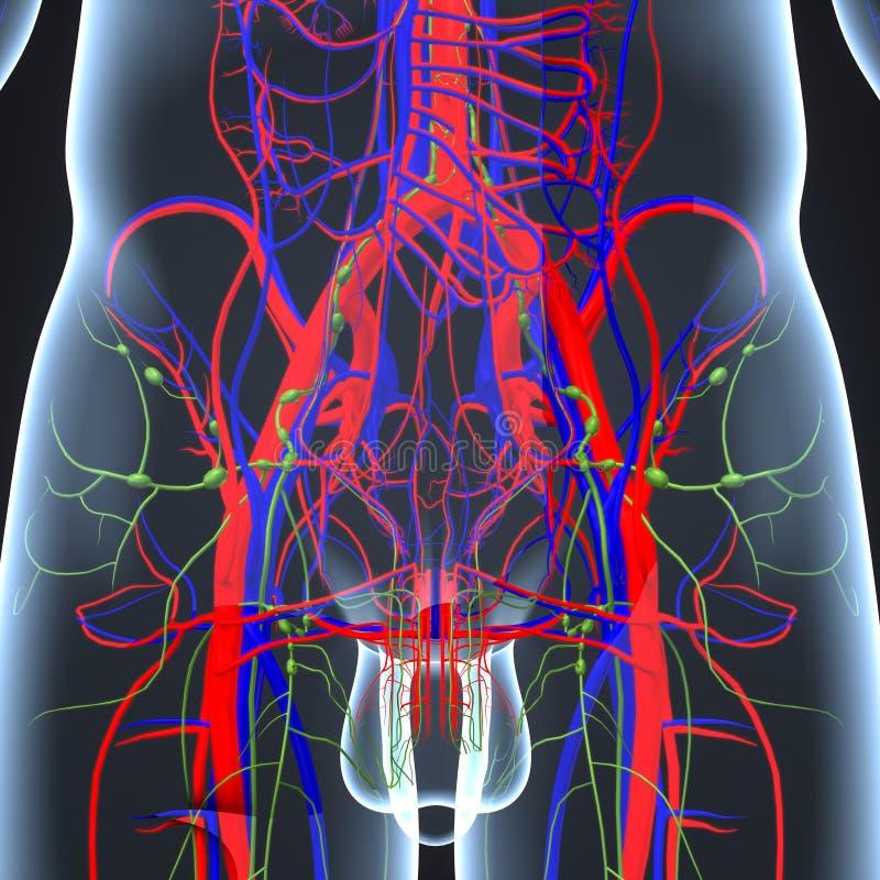 Slagaders, Aders en lymfeknopen bij Heupgebied in Menselijk Lichaam royalty-vrije illustratie