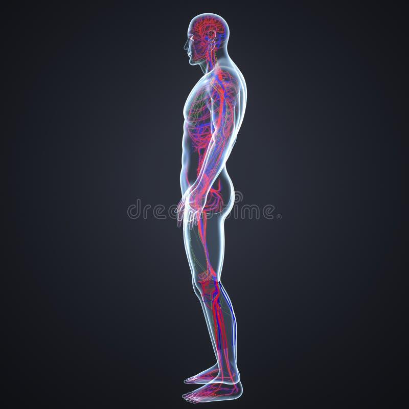 Slagaders, Aders en lymfeknopen in Menselijk Lichaams Zijmening stock illustratie