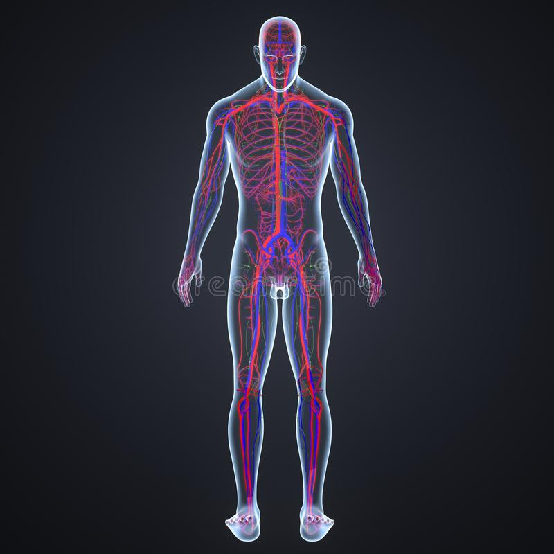 Slagaders, Aders en lymfeknopen met Menselijk Lichaams Latere mening royalty-vrije illustratie