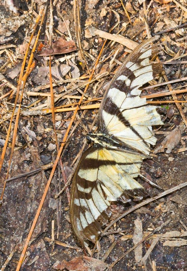 Slagen TigerSwallowtail Fjäril Slitage Och Royaltyfria Bilder