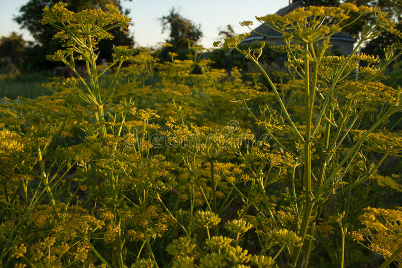 Slags solskydd som blommar selleri royaltyfria bilder