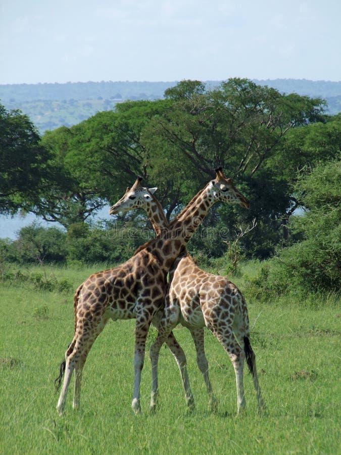 slagsmålgiraff uganda royaltyfri fotografi