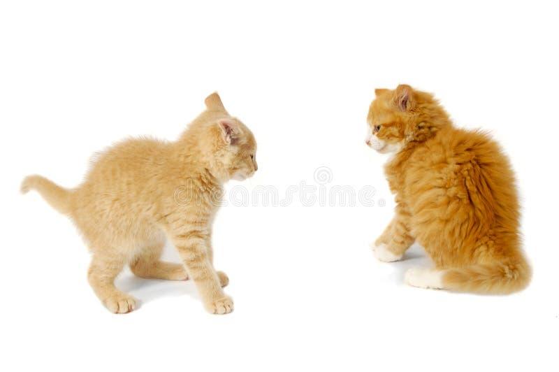 slagsmålkattungar som är klara till royaltyfri bild
