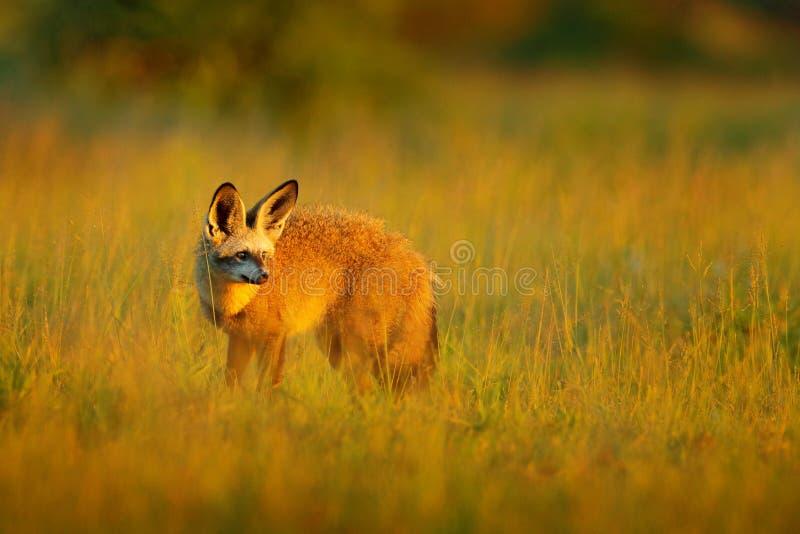 Slagträ-gå i ax räv, Otocyon megalotis, lös hund från Afrika Sällsynt löst djur, aftonligt i gräs Djurlivplats, Nxai Pan National royaltyfri foto