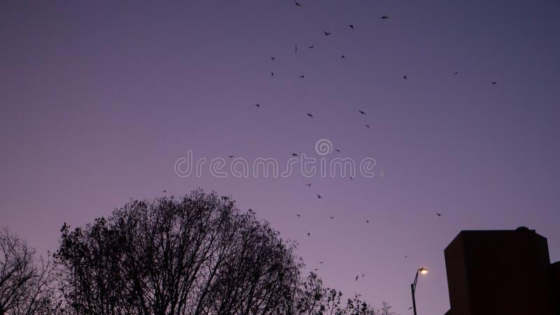Slagträflyg upp från deras roost i en grupp på natten i Austin Texas arkivbild