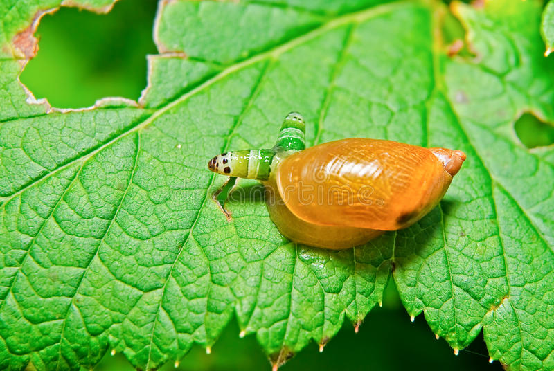 Slak Antara door parasiet paradoxale die Leucochloridium wordt beïnvloed stock fotografie