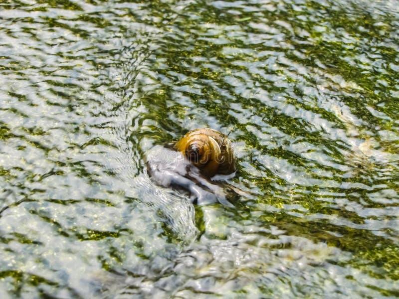 Slak in Bemost Vijverwater stock afbeelding