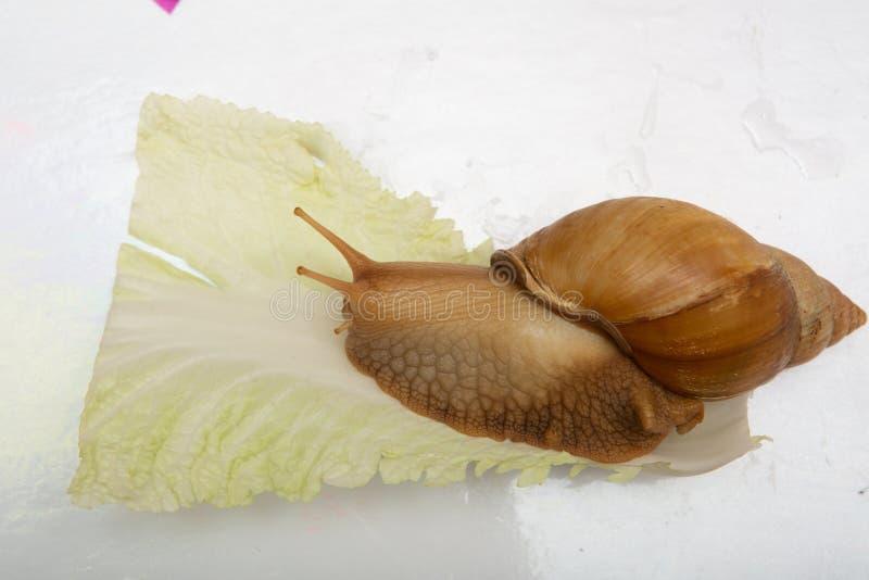 slak die een koolblad eten royalty-vrije stock afbeelding