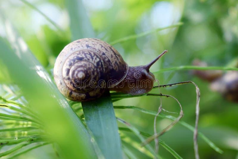 Slak die in het groene gras kruipen, die een geheim of een slijm, natuurlijke voorwaarden veroorzaken stock fotografie