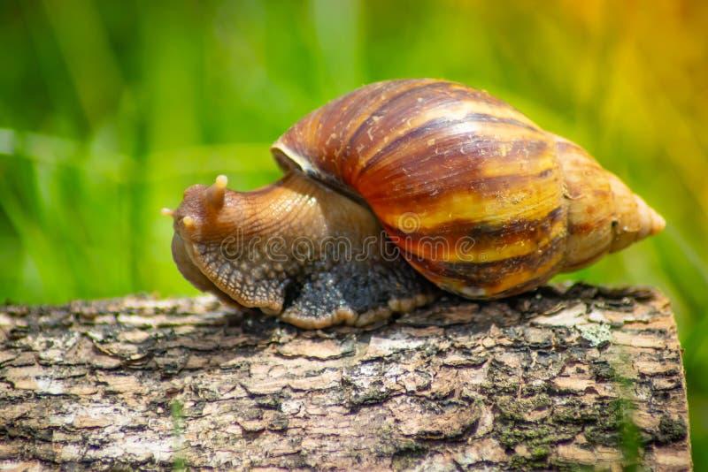 Slak die langs een weg naast nat gras kruipen Sluit omhoog van de slak uit zijaanzicht wordt genomen dat De slak heeft wat gras d royalty-vrije stock foto's