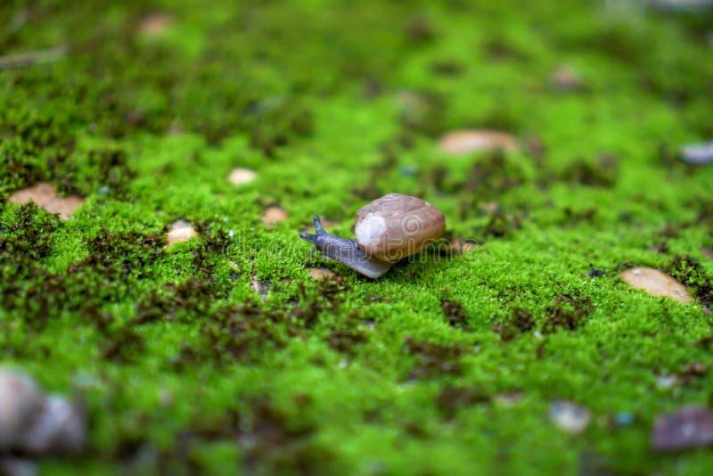 Slak die op mosgebied lopen stock afbeeldingen