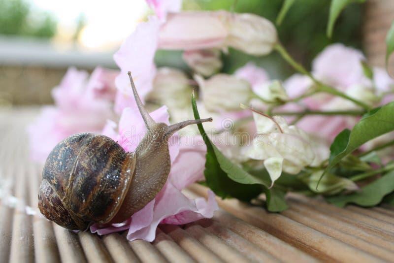 Slak die Roze Bloemen onderzoekt stock foto