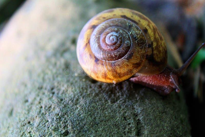Slak of naaktslak met kleurrijke shell op een rots stock foto's