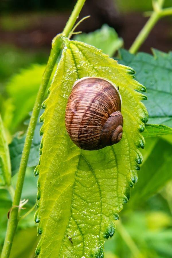 Slak op het groene blad stock fotografie